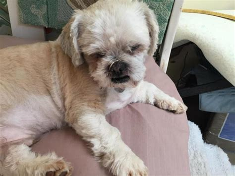 jersey shih tzu shih tzu was rescued from hoarder nj