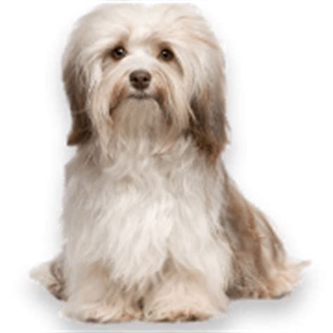 havanese breeders virginia havanese puppies for sale in pa ridgewood s havanese puppy adoption