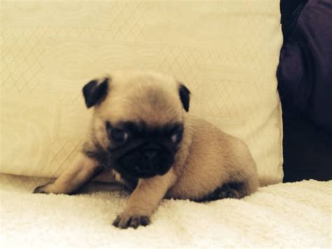 pug puppies for sale in swansea pedigree pug puppies for sale swansea swansea pets4homes