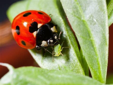 do ants eat aphids strange s garden center we ladybugs