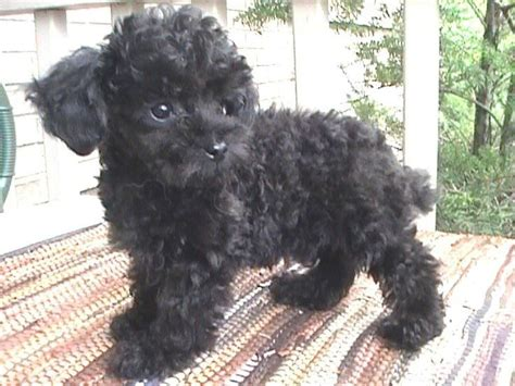 black poodle puppy 366 best images about black poodles on poodles miniature