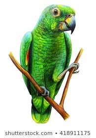 pencil drawing parrot images stock  vectors