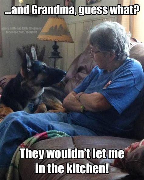 Meme Grandma - he s telling grandma on you lol germanshepherd dog