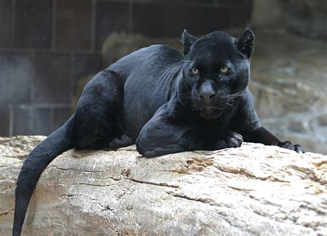 jaguar back shukernature the about black pumas separating