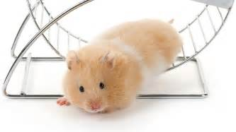 How to tell if your hamster is happy science aaas