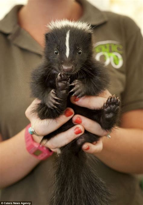 the not so sweet smell of success 20 skunks strut their stuff at britain s first ever beauty