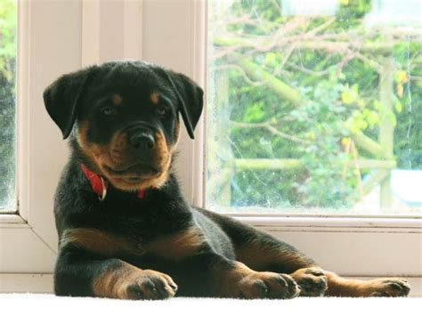 scary names for rottweilers oh my sque e e e ak muliebrity