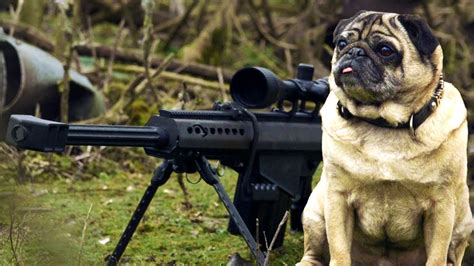 pug gun this sniper pug is a total maverick this had me laughing in tears