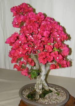 Pupuk Yang Bagus Untuk Bunga Kertas cara membuat bonsai bunga kertas bougenville ide