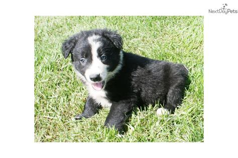 border collie puppies near me border collie puppy for sale near des moines iowa 3ae25b5d c6b1