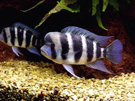 Fishnet Hitam Pita S023 za fish frontosa cichlide cyphotilapia frontosa si biru bergaris dari danau tanganyika