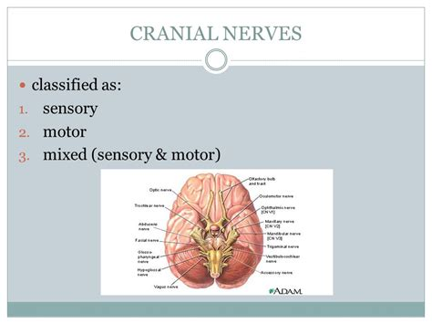 sensory motor and mixed nerves honors anatomy physiology ppt