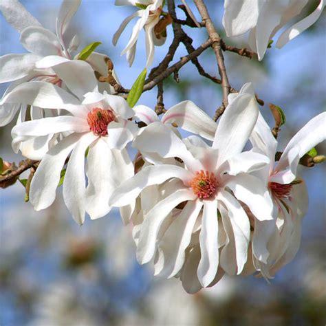 sternmagnolie magnolia stellata jetzt g 252 nstig - Sternmagnolie Kaufen