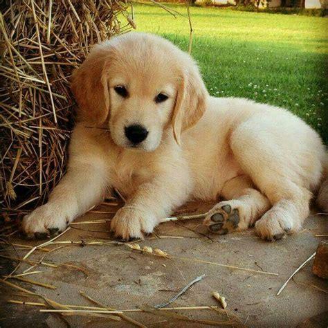 golden retriever puppy finder 1339 best golden retrievers images on best friends fruit and haircuts