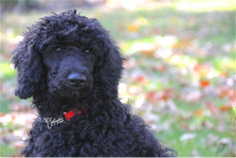 puppies for sale saratoga ny poodle puppies for sale patty s precious poodles of saratoga dba mizzelle s