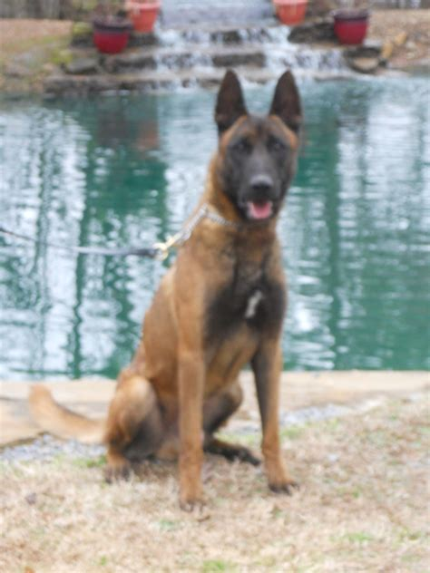 service dogs for sale pictures of k9 dogs for sale 500 breeds picture
