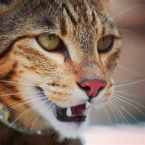 ashera cat kitten breeds personality health care