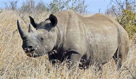 black rhino black rhinoceros facts diet habitat information