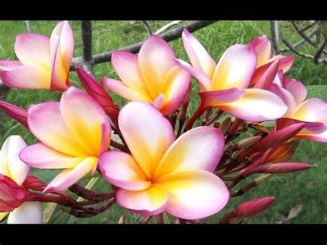 design bunga jepun charles plumier mashpedia free video encyclopedia