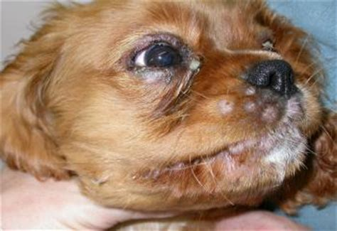 cellulitis in dogs veterinary ophthalmology histories research and news page 27