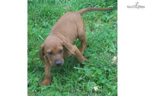 puppies for sale in plattsburgh ny puppy plattsburgh ny
