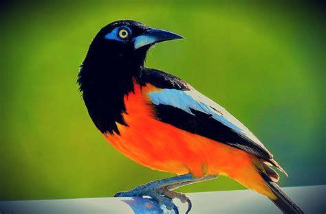 turpial ave nacional venezuela apexwallpapers com el turpial es el ave nacional desde el a 241 o 1958