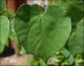 heart shaped leaf tree