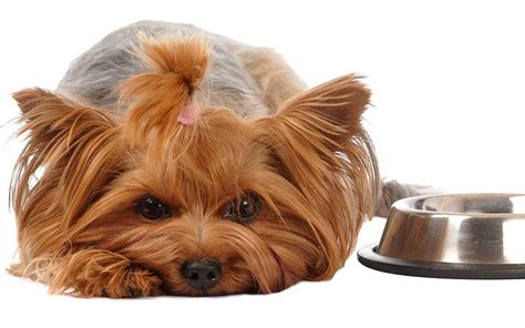 best food for yorkies best food for yorkies from puppies to seniors