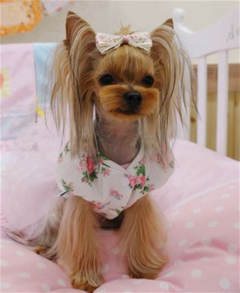 diy yorkie grooming 482 best images about grooming looks styles on poodles show and