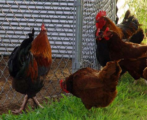 backyard poultry for sale backyard chickens for sale three roosters for sale or