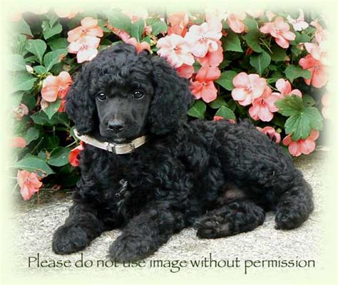 black standard poodle puppies black standard poodle puppies ontario dogs our friends photo
