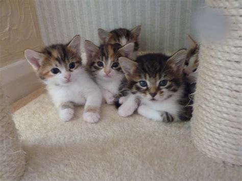 cats for sale adorable kittens for sale epping essex pets4homes