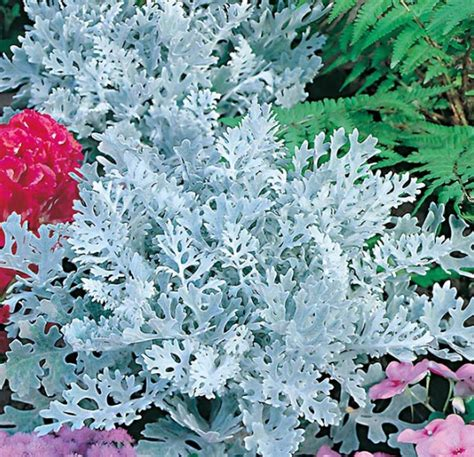 Benih Bunga Cineraria benih cineraria silver dust dusty miller 20 biji non