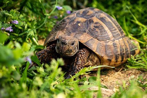 alimentazione testudo hermanni tartarughe di terra razze alimentazione e come fare denuncia