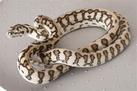 Jaguar Carpet Python Jaguar Carpet Python Lizzards Snakes Spiders And Other