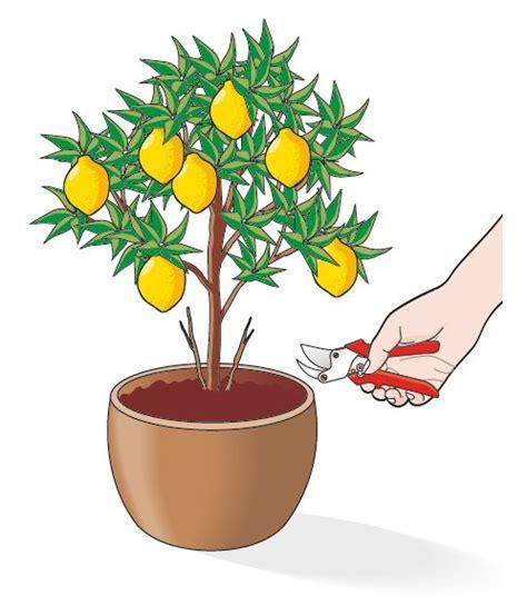 agrumi in vaso curare gli agrumi in vaso cose di casa