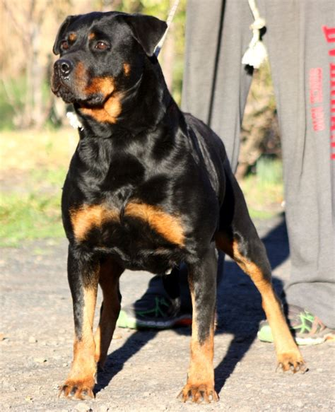 working rottweiler working rottweiler puppies for sale working rottweilers in australia