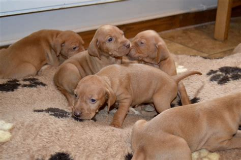 vizsla puppies ohio vizsla puppies for sale puppy for sale breeds picture