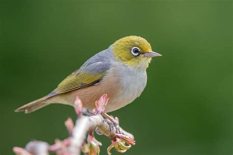 silvereye new zealand birds online