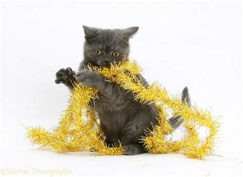 yellowing on white tinsel grey kitten with yellow tinsel photo wp18115