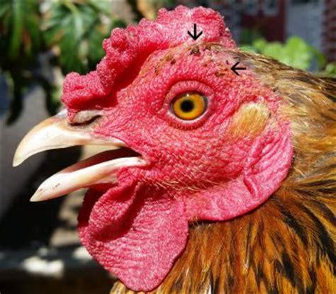 Joan S Backyard Chickens Backyard Chickens More Prone To Ectoparasites Animal