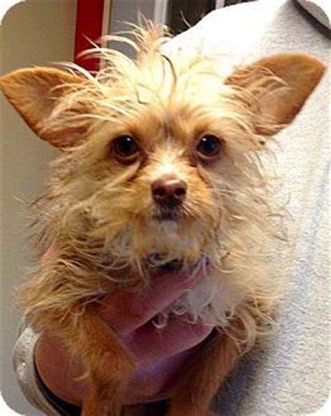 yorkie wisconsin yorkie terrier mix for sale in green bay wisconsin breeds picture