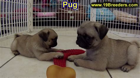 pugs for sale in tn pug puppies dogs for sale in nashville tennessee tn 19breeders clarksville