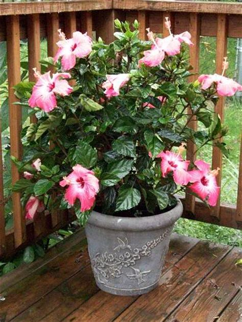 Hibiscus In Planters by Growing Hibiscus In Containers Gardening