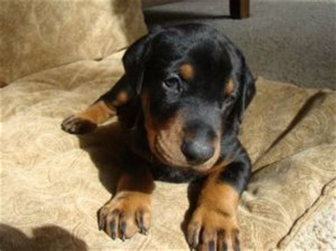 doberman puppies for sale in iowa doberman pinscher puppies for sale