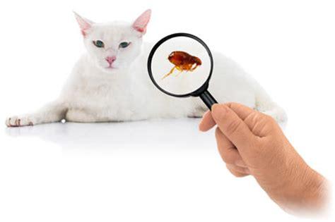 does my fleas cat fleas does my cat fleas cathealth