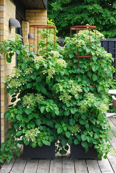 24 best vines for containers climbing plants for pots - Climbing Pot Plants