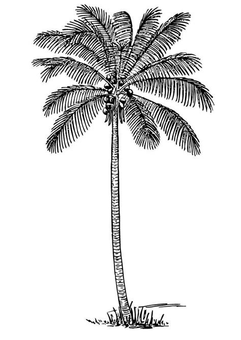 coloring page of a coconut tree coloriage cocotier img 13356