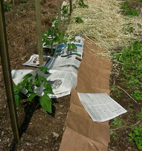 How To Make Paper Mulch - cool tomatoes leslie land in kitchen and garden and