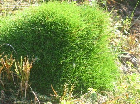 zoysia vs bermuda grass and bamboo bermuda vs zoysia who wins 1 by